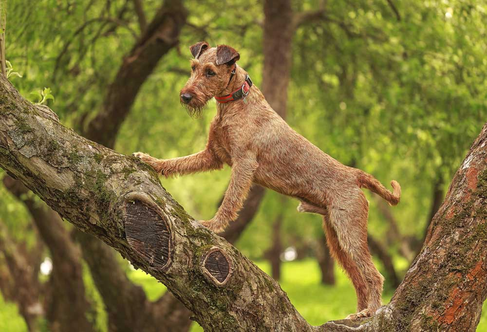 Irish Terrier standing in a low to the ground tree