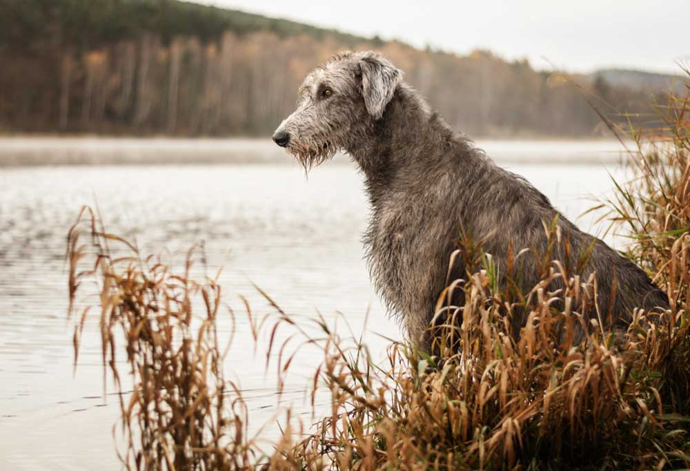 Irish Wolfhound sitting on a river bank in tall dead weeds