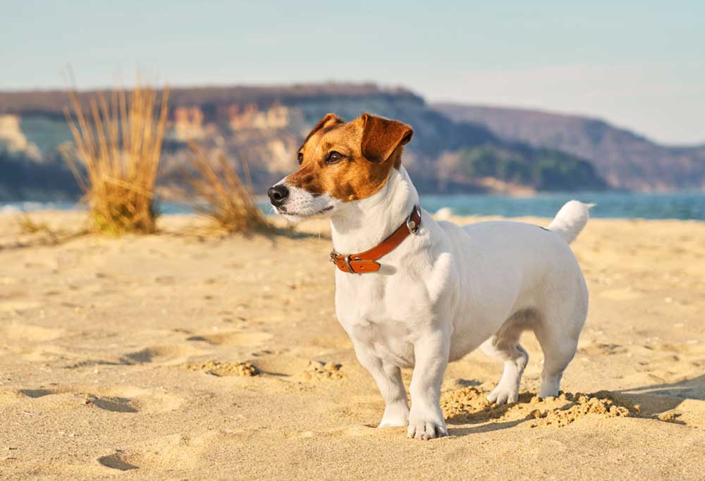 Jack Russell Terrier standing in sand at beach