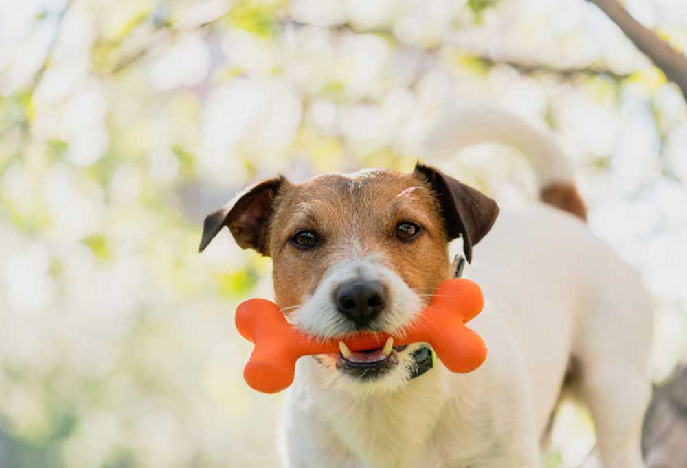 Jack Russell Terrier with orange bone in mounth
