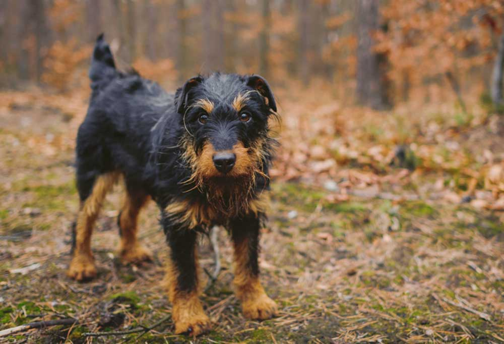 Jagdterrier standing at the edge of a forest with leaf covered grass
