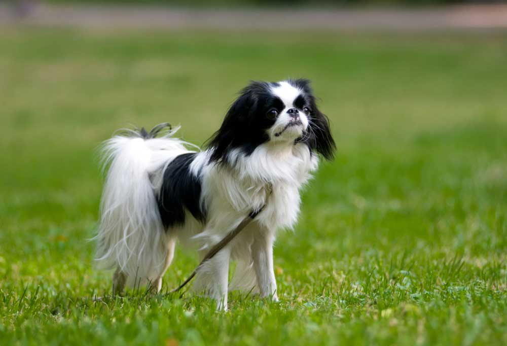 Japanese Chin standing in grass