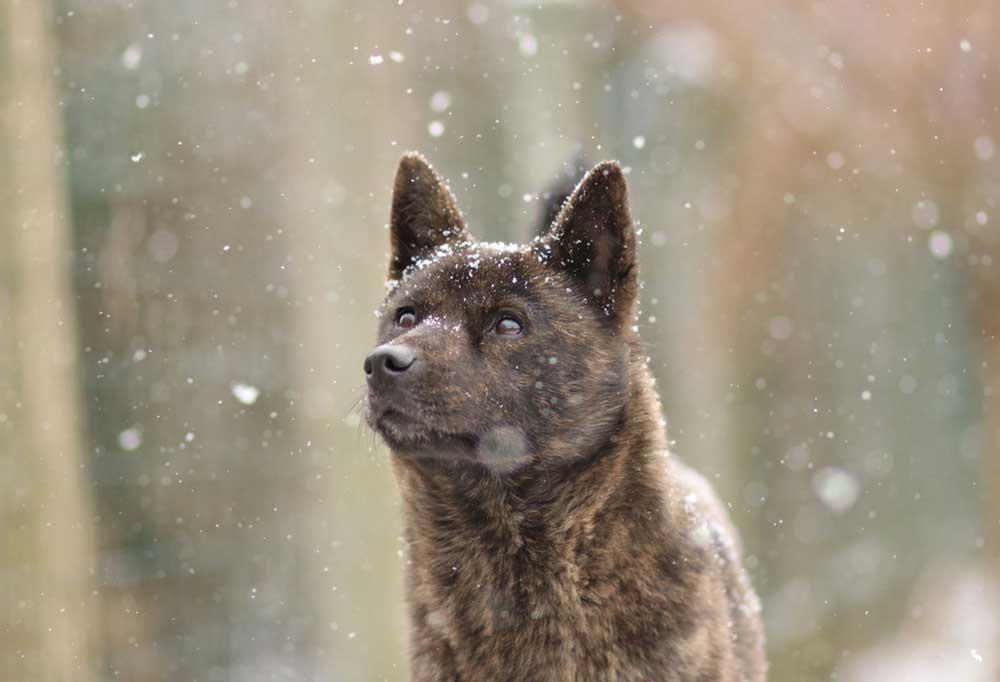 close up of Kai Ken in snow