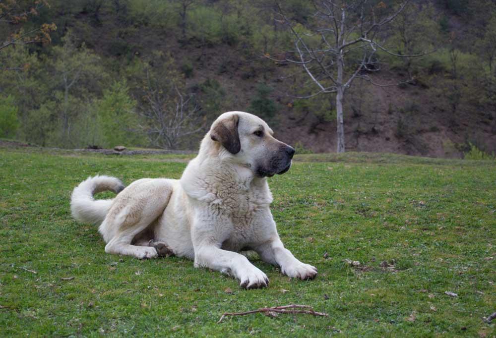 Kangal Shepherd Dog laying on grass covered hill