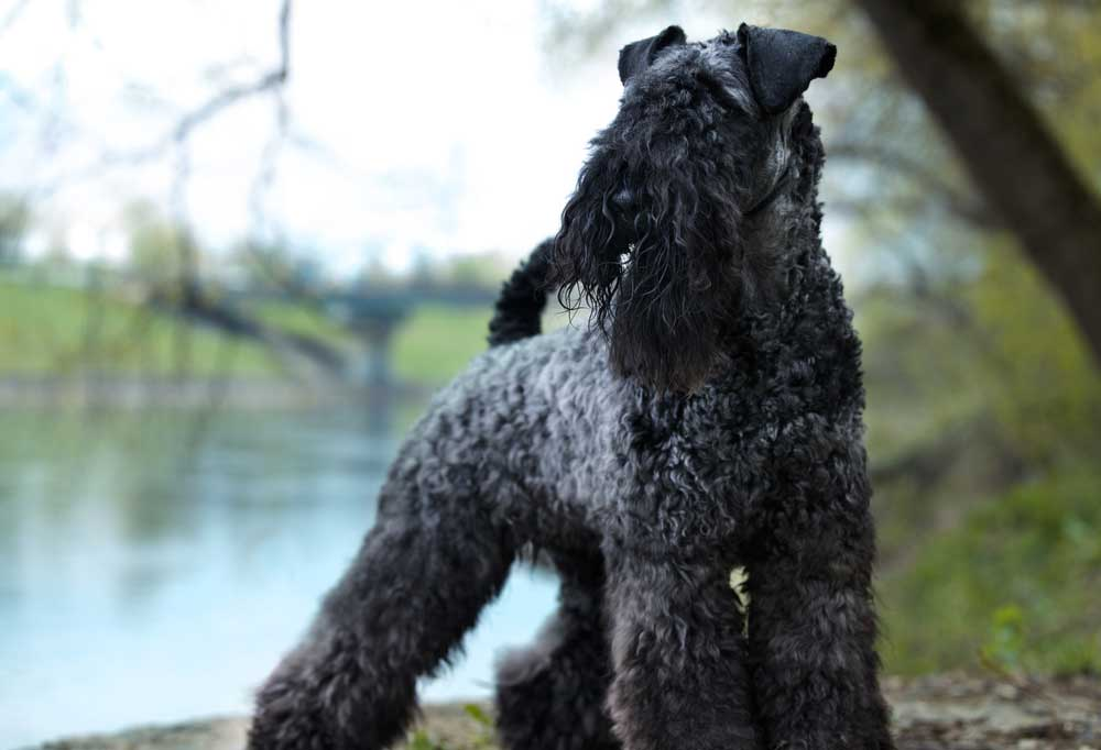 Kerry Blue Terrier standing under a tree at the edge of a body of water