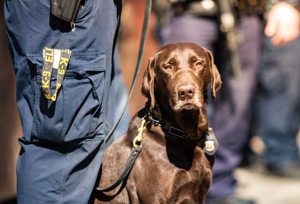 Labrador Retriever sitting at legs of person in uniform