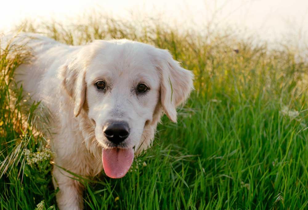 Labrador Retriever walking in tall  grass