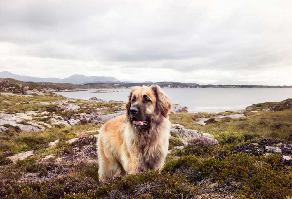 Leonberger standing on rocky shore line