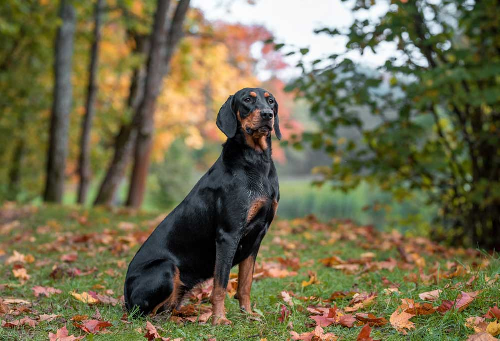 Lithuanian Hound in natural setting