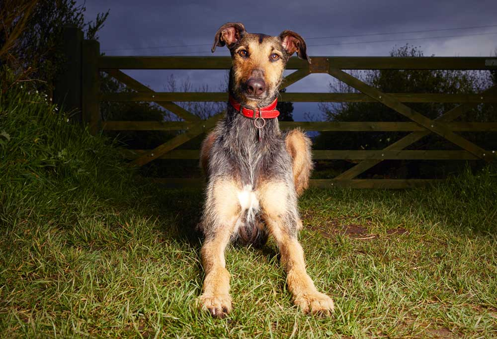 Lurcher in an evening setting sitting next to a farm fence