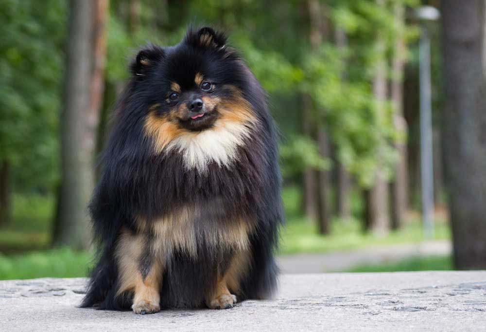 Black and tan Pomeranian sitting on side walk