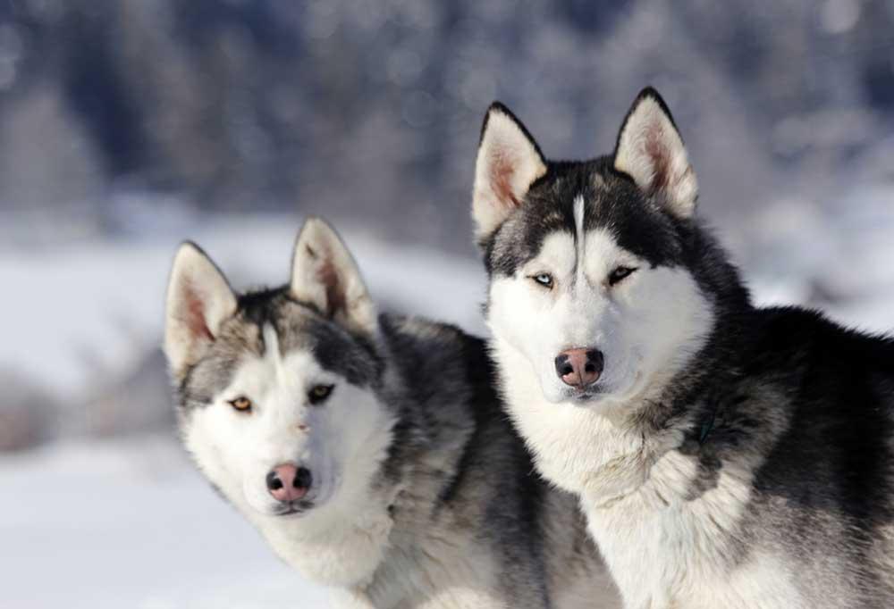 2 Siberian Huskies sitting in the snow