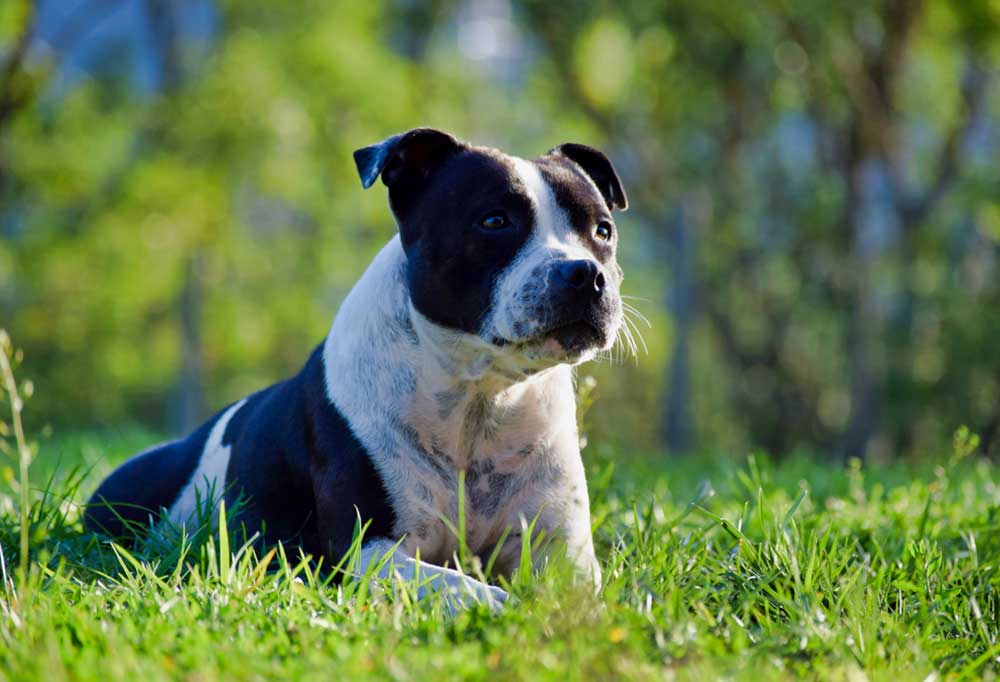 Staffordshire Terrier laying in the grass