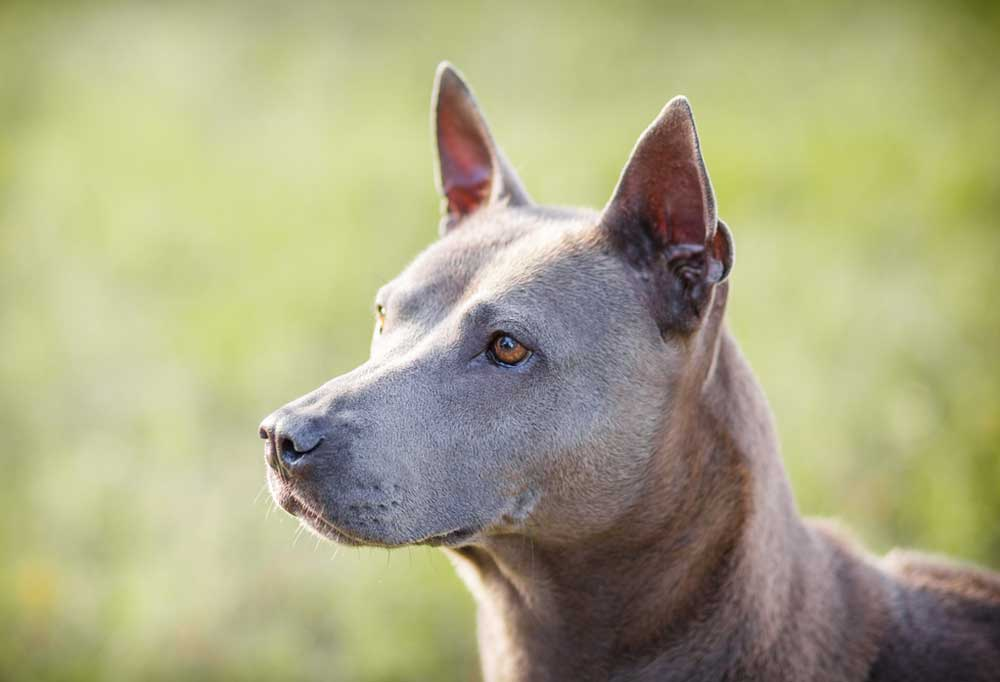 7 Dog Breeds with Spots on Tongue feature image- Thai Ridgeback on green grass background