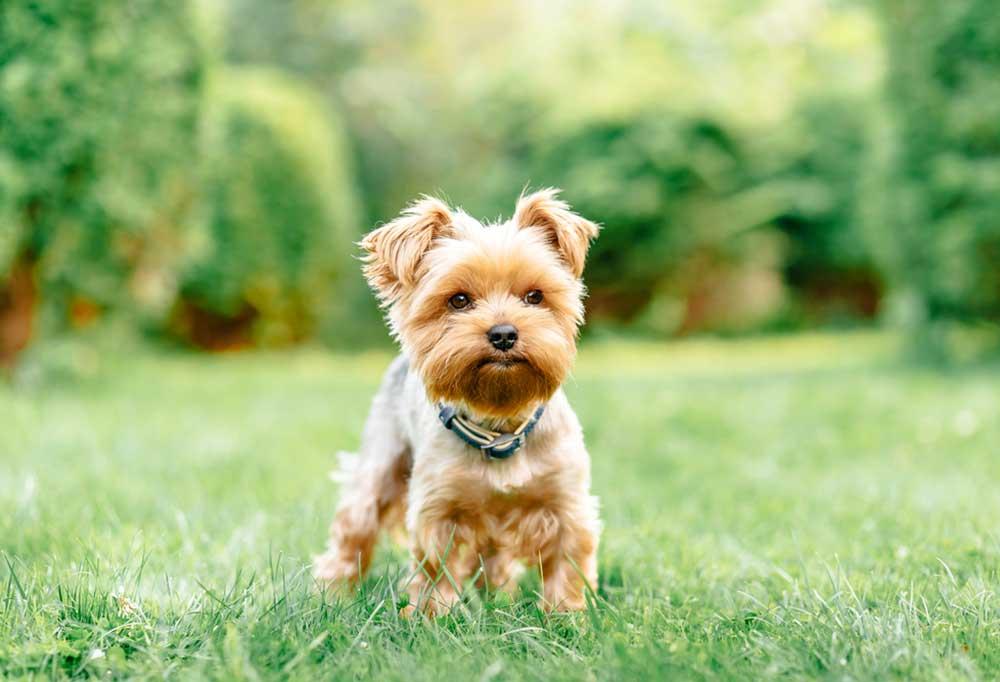 Yorkshire Terrier standing in grass