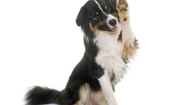 tricolor australian shepherd with paw raised it air as to give high 5