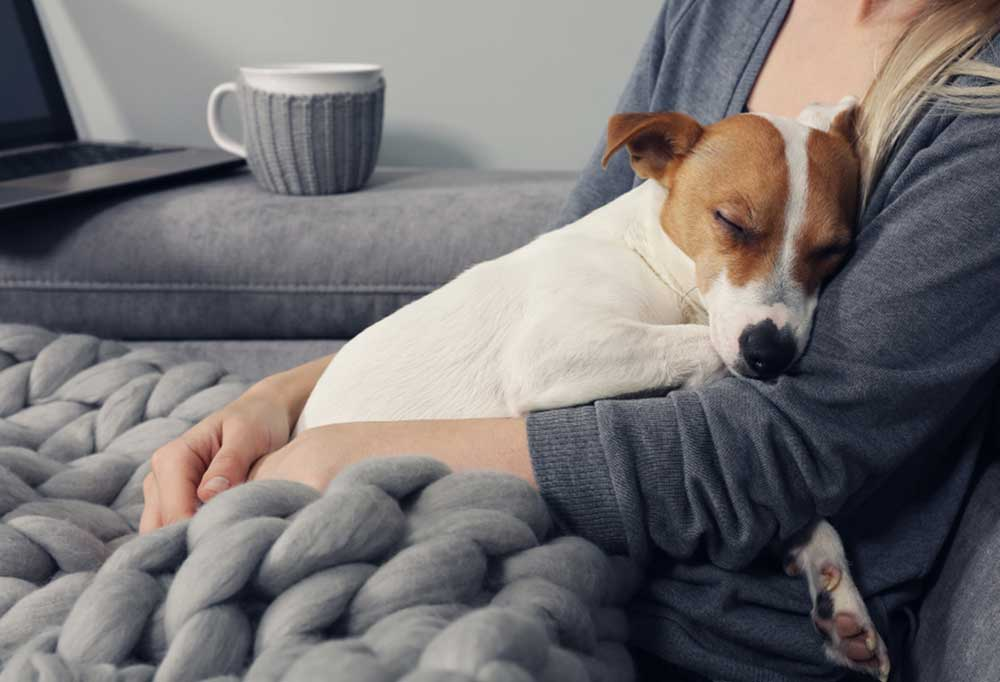 Jack Russell Terrier asleep in owners arms