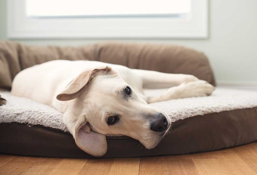 yellow Labrador laying on a dog bed