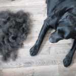 Labrador retriever on hard floor next to a pile of dog hair