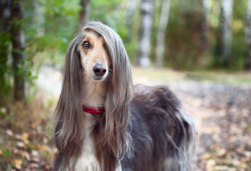 Afghan Hound  outdoors on leaf covered ground under trees