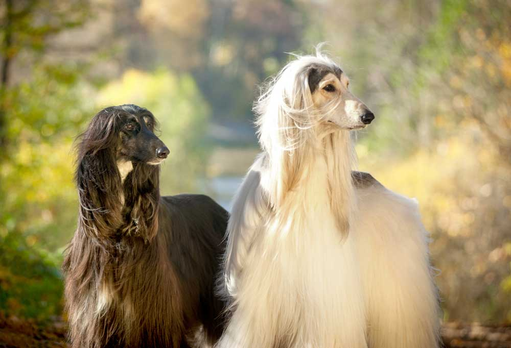 2 Afghan Hounds outside in nature