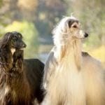 2 Afghan Hounds outdoors