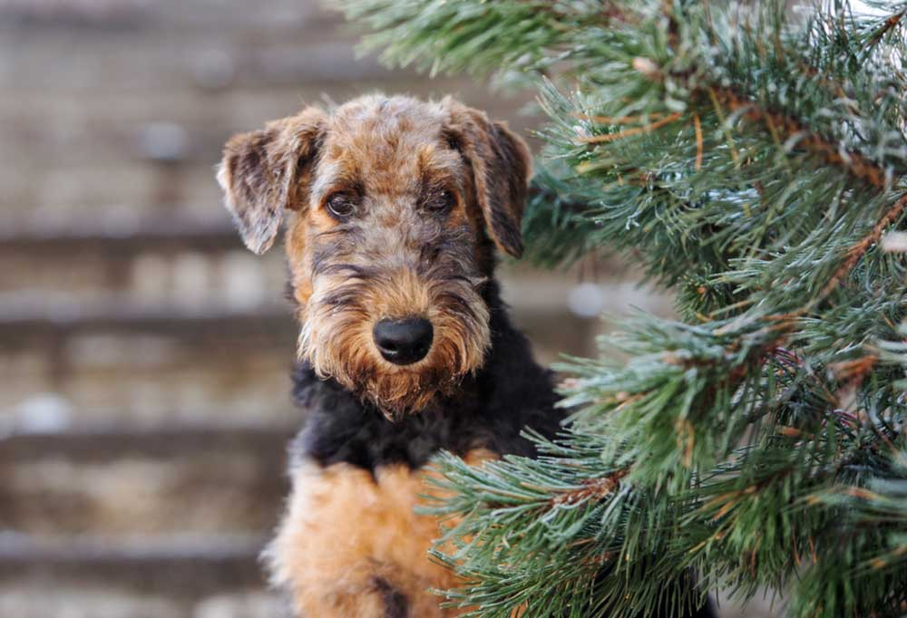 Airedale Terrier peeking from behind a pine tree