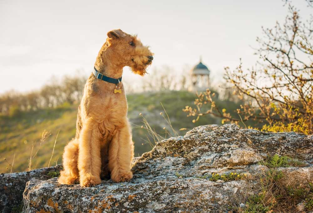 Airedale Terrier standing on rocky outcrop with gazebo in background
