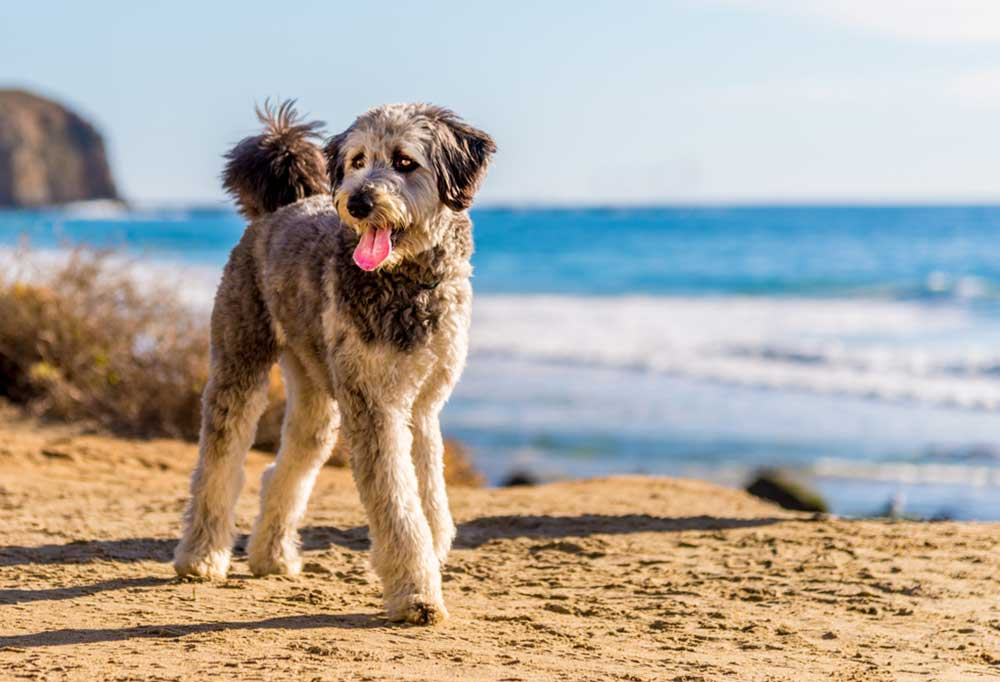 Aussiedoodle puppy standing on a beach