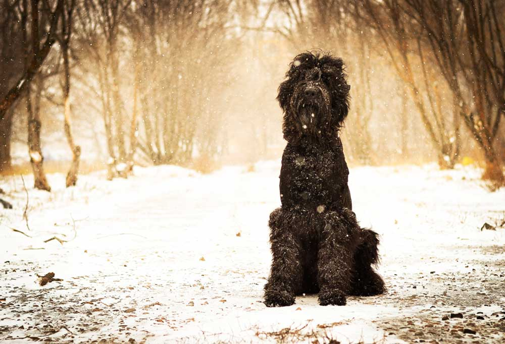 Barbet sitting on snow covered ground among trees