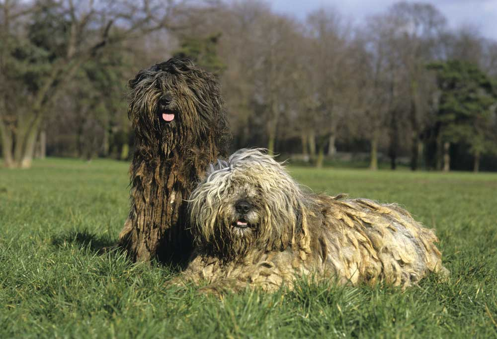 2 Bergamasco laying in a grass field with trees in background