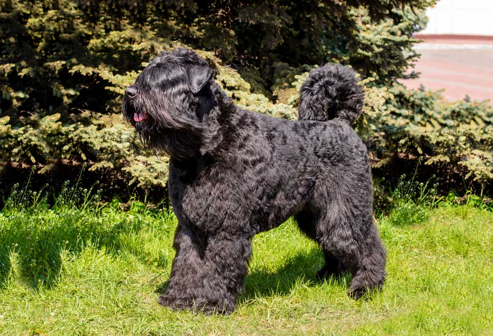 Bouvier Des Flandres standing in grass in front of trees