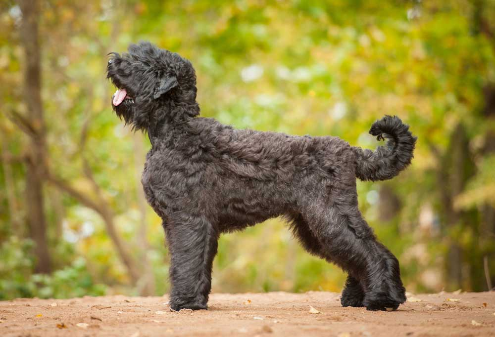 Bouvier des Flandres standing on a dirt hill with trees in background