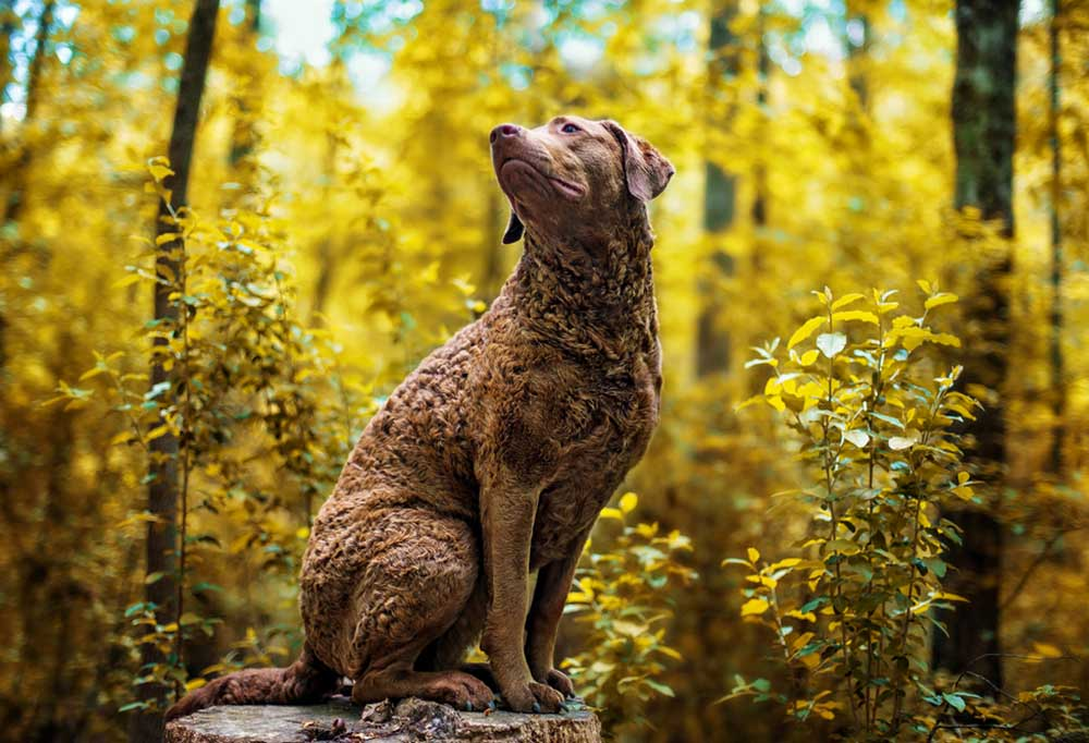 Chesapeake Bay Retriever sitting on a stump in the forest