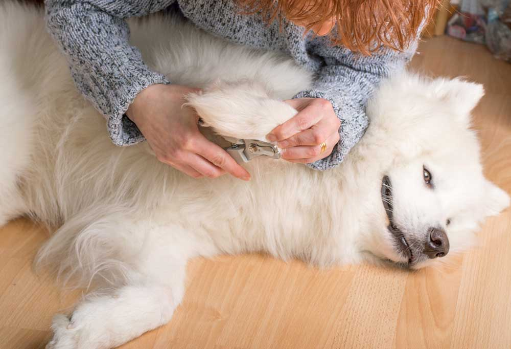 Fluffy white dog laying in a comfortable position while someone trims its nails