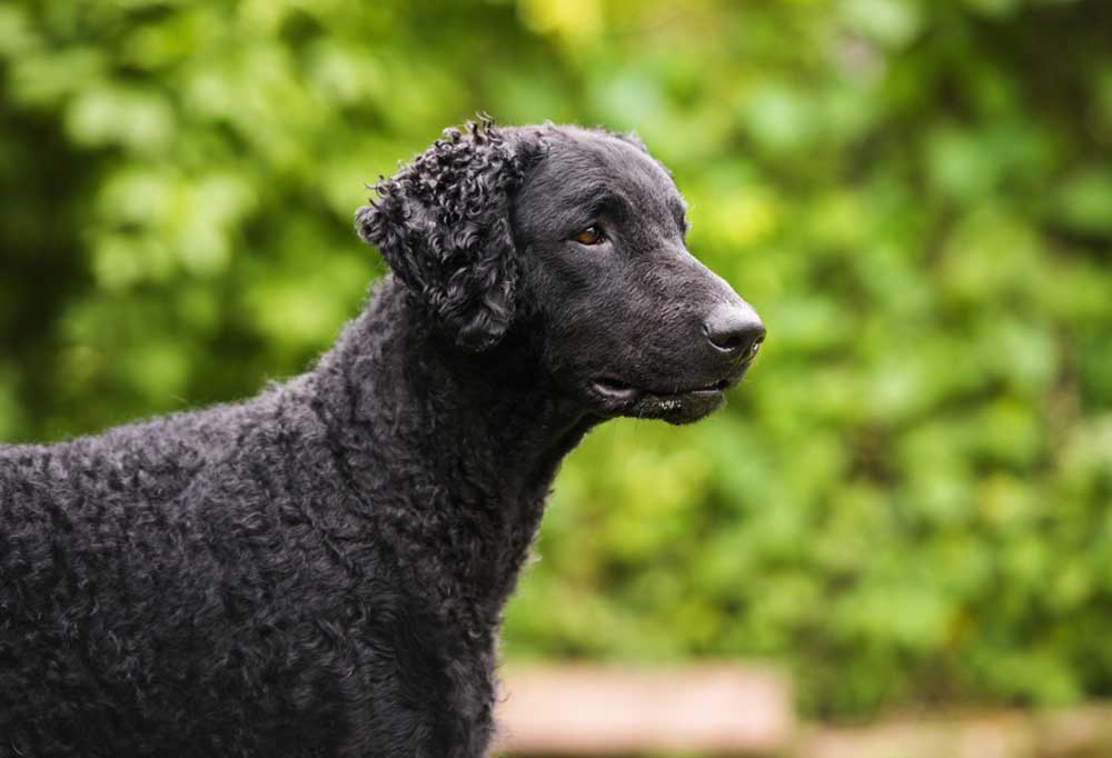 Curly-Coated Retriever outdoors in nature