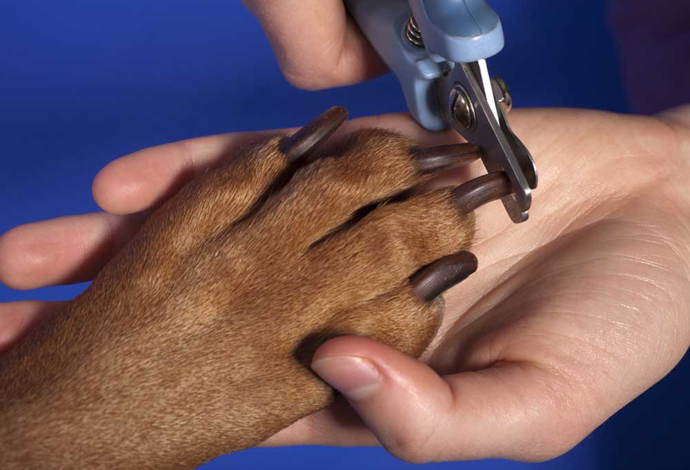 black dog nails being cut with scissor style clippers on a dark blue background.