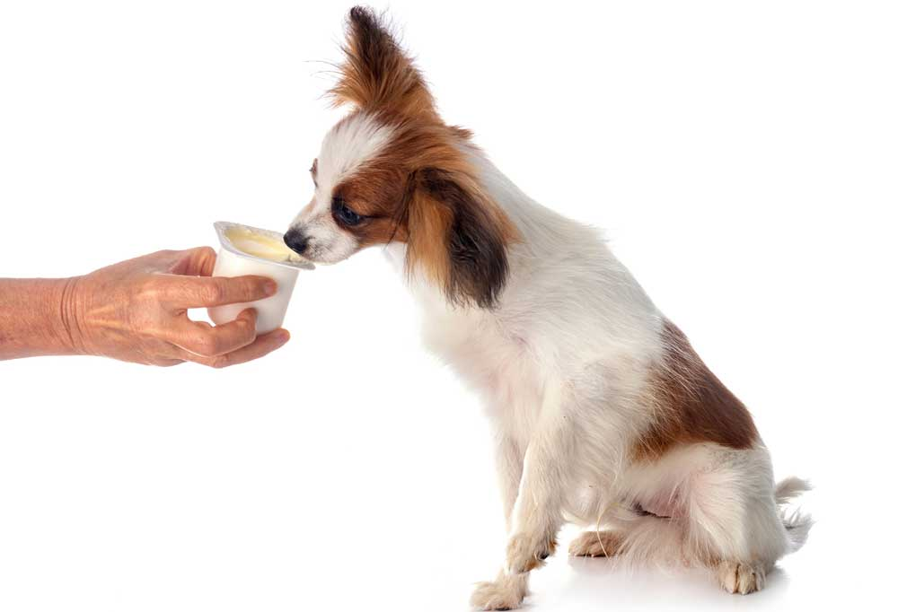small dog eating yogurt from a container on a white background.