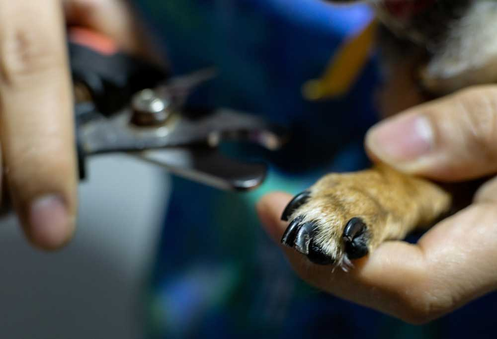 Small dog nails being clipped