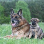 Germans shepherd puppy sitting next to adult German Shepherd laying in grass field