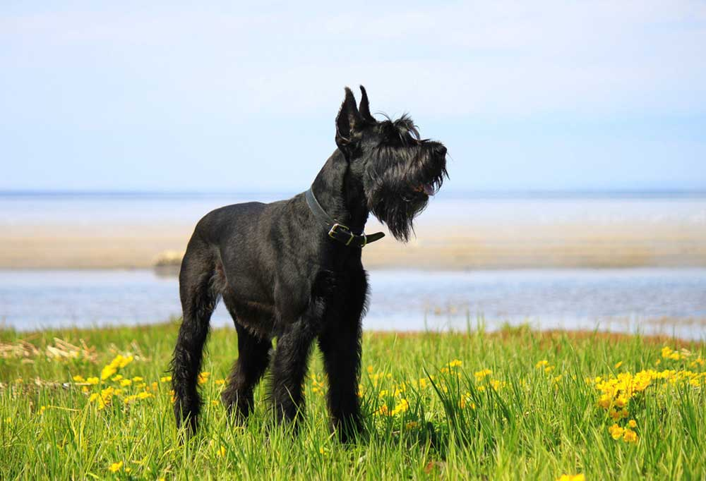 Giant Schnauzer in grass and wildflower covered field next to a body of water