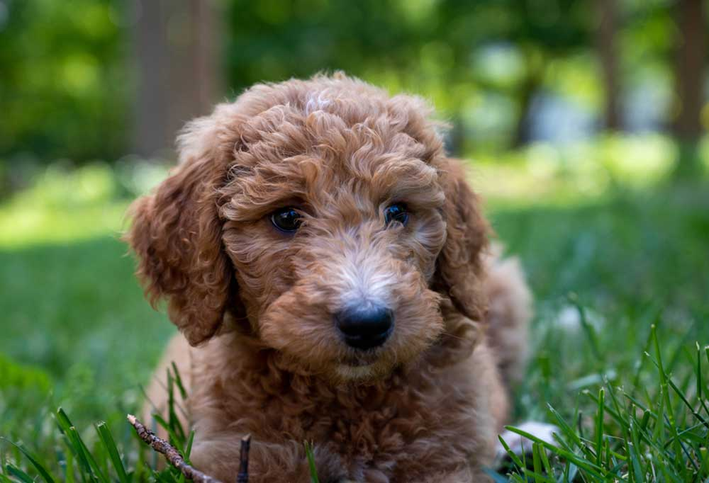 Goldendoodle laying in grass