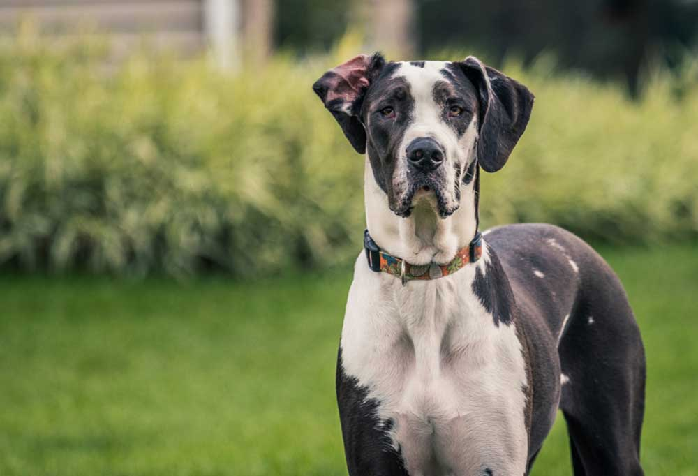 Great Dane standing outdoors in grass