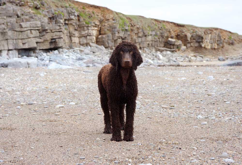 Irish Water Spaniel standing on rocky beach
