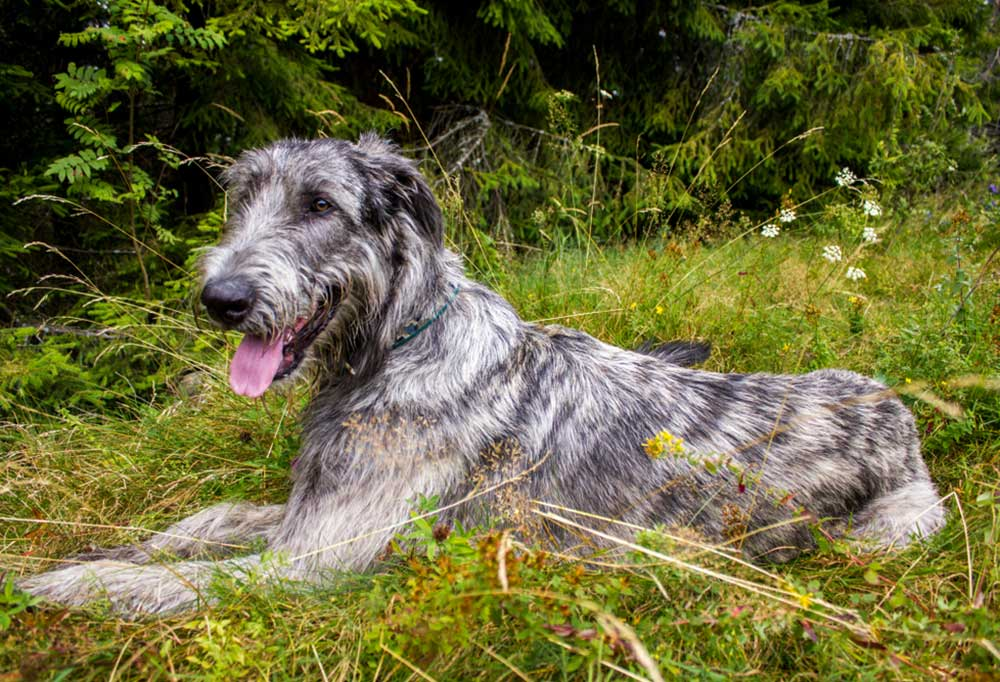Irish Wolfhound outdoors laying at the edge of the woods