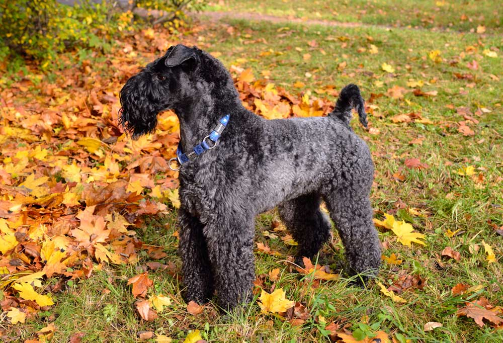 Kerry Blue Terrier standing on leaf covered ground