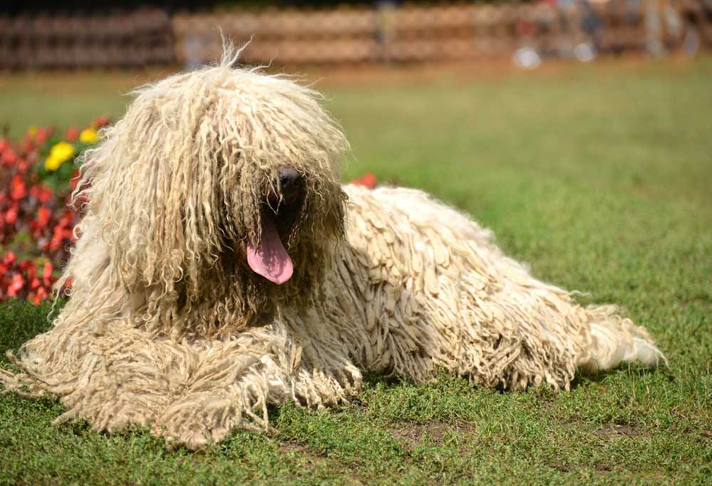 Komondor laying in grass yard in front of flower bed
