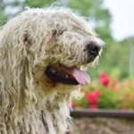 Close up of a Komondor outdoors in front of flower pot