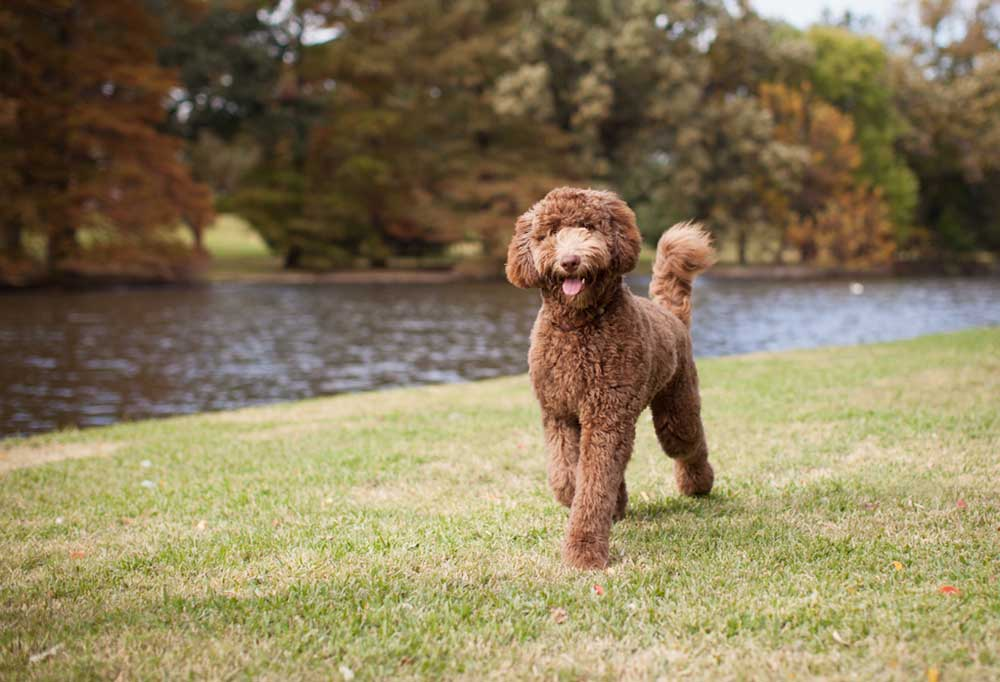 Labradoodle standing on grass next to pond.