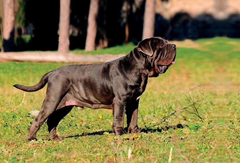 Neapolitan Mastiff standing outdoors in nature